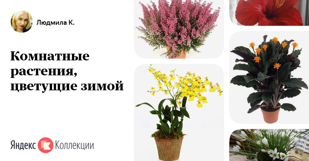 Комнатные цветы как цветут