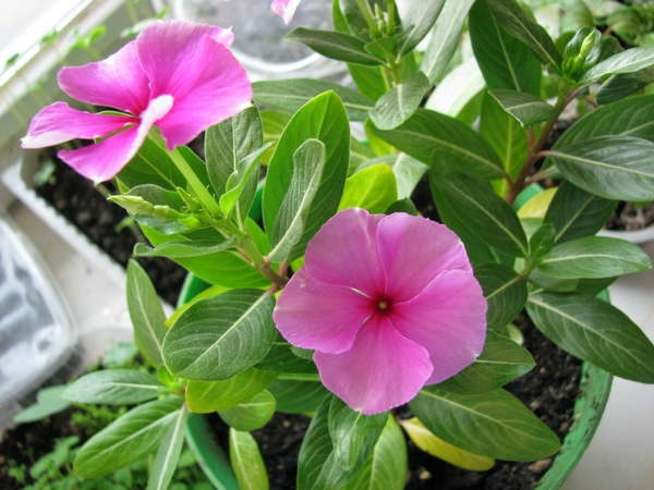 Комнатный цветок катарантус описание