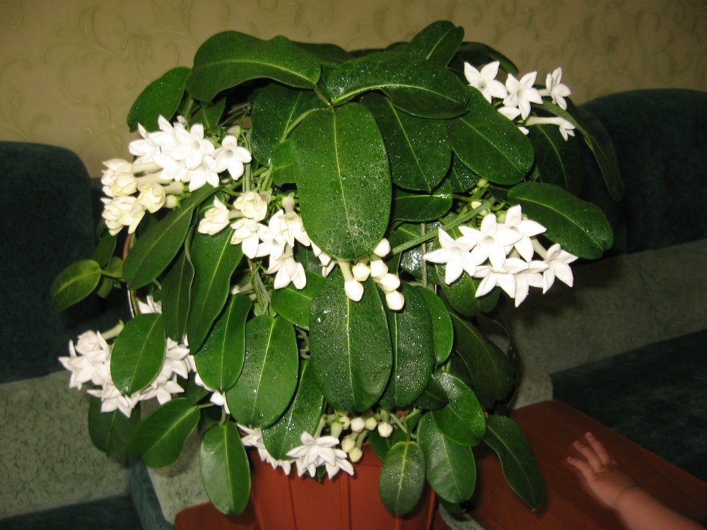 Цветок стефанотис и уход