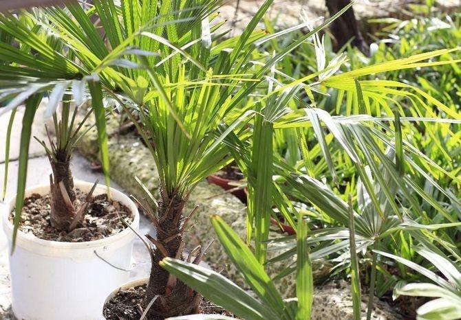 Пальма садовая уход