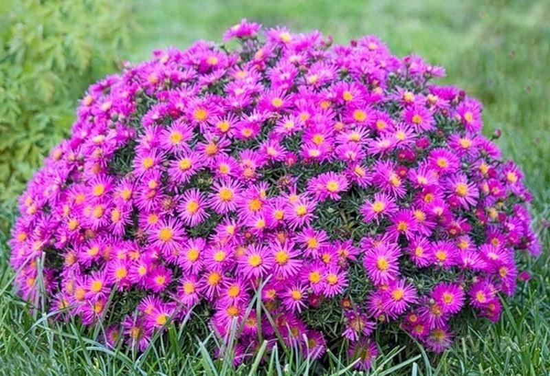 Каталог многолетних низкорослых цветов