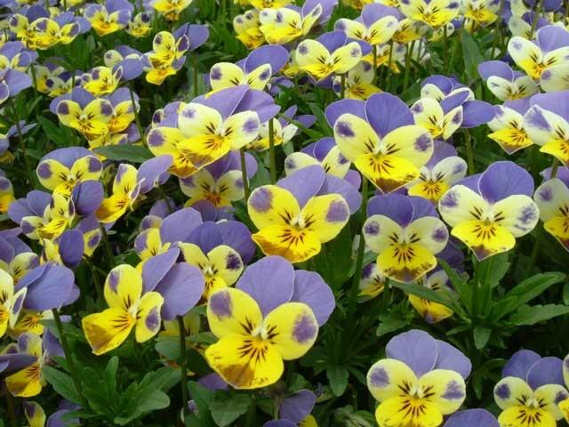 Фото виолы цветка