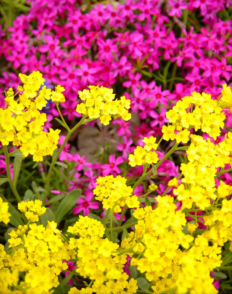 Низкорослые цветы для клумбы многолетние