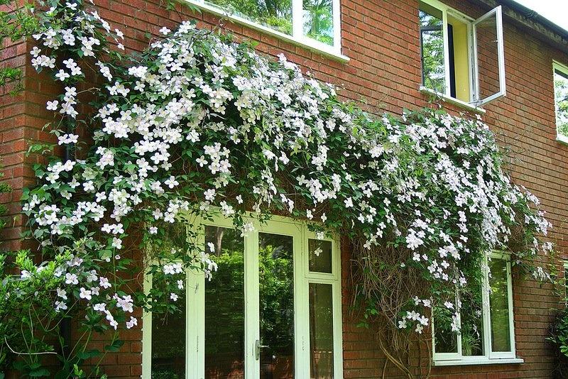 Многолетние цветы для дачи цветущие все лето вьющиеся