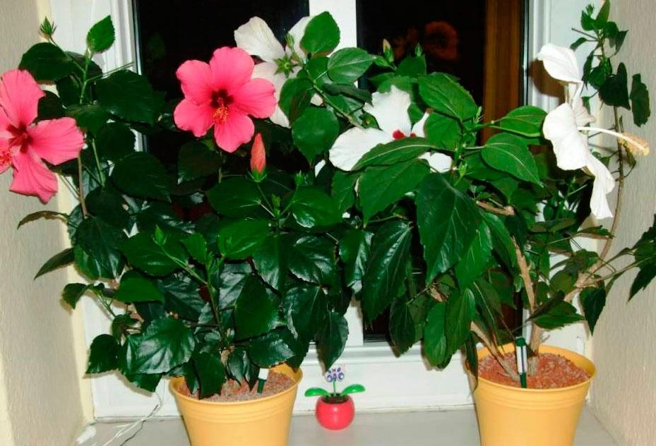 Цветы домашние большие