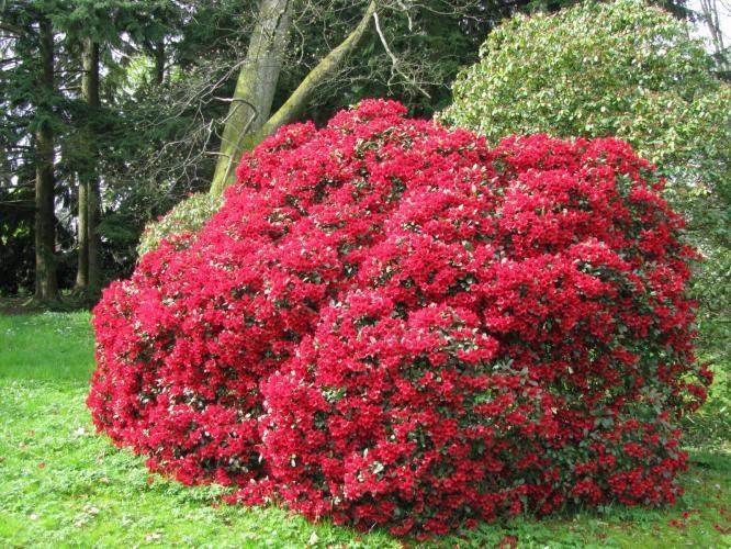 Многолетние кусты цветов