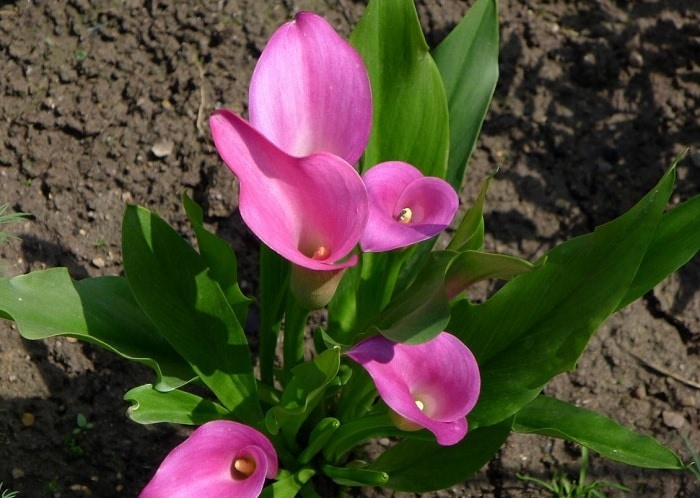 Комнатные луковичные растения фото название и описание