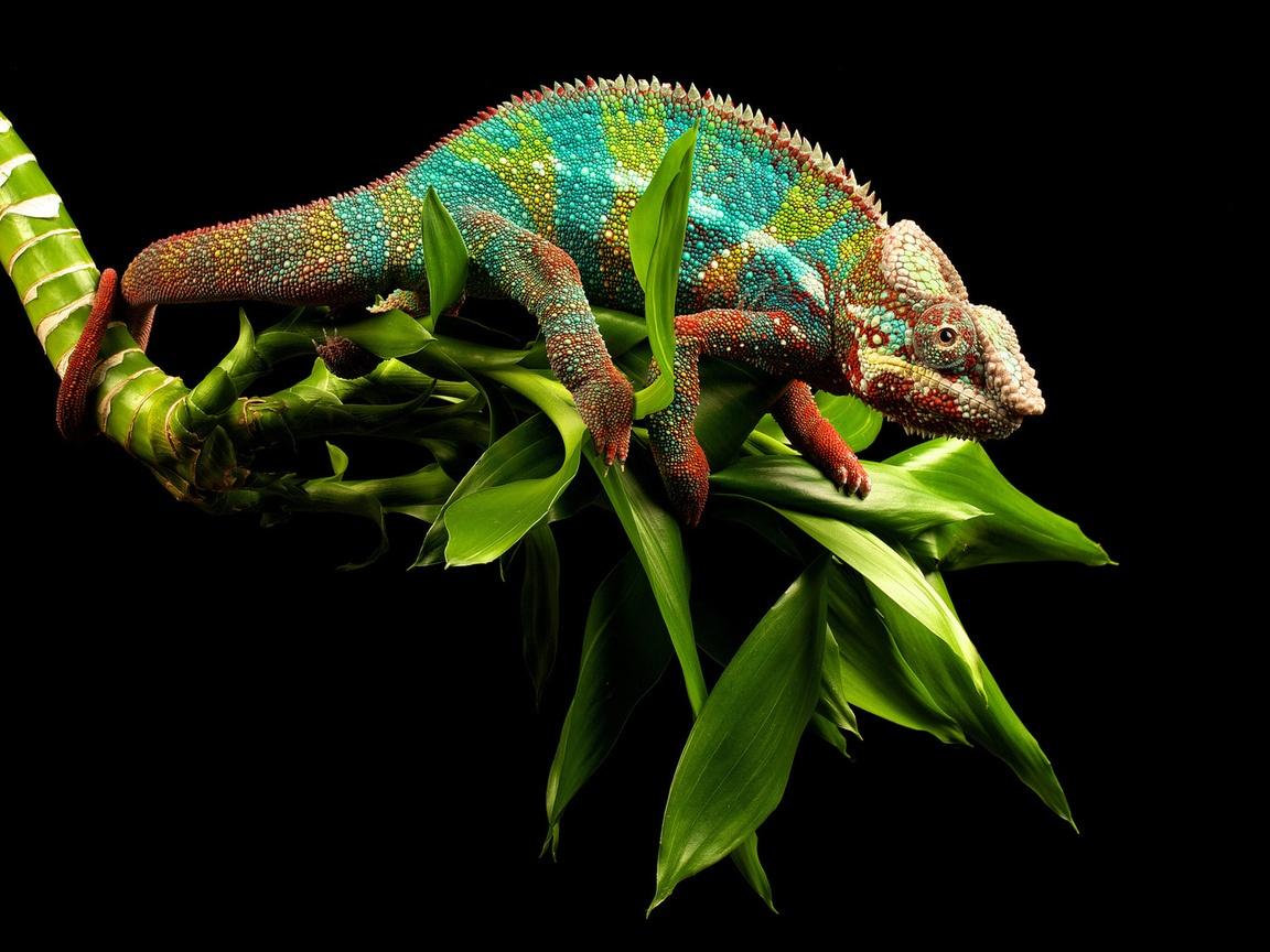 chameleon wallpaper 1920x1200 - photo #5