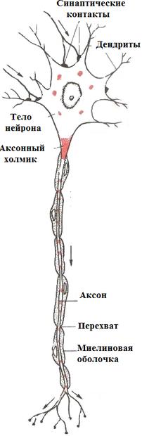 Рефлекторный принцип работы нервной системы - фотография 1